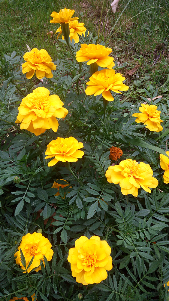 Marigolds in Cismigiu Park, downtown Bucharest