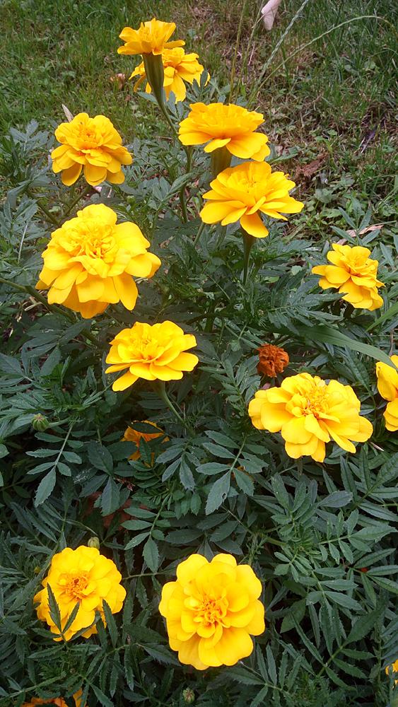 Marigolds in Cismigiu Park, downtown Bucharest